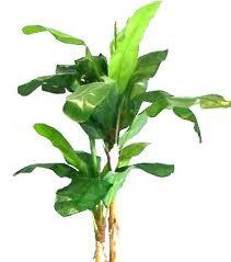 picture of hemp plant