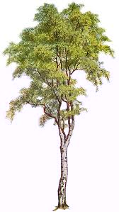 picture of hardwood tree or deciduous trees