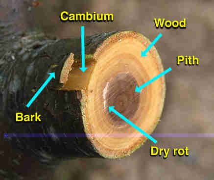 picture of cambium