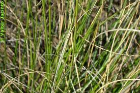 picture of Esparto Grass