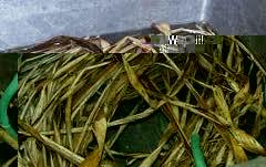 picture of kozo fiber