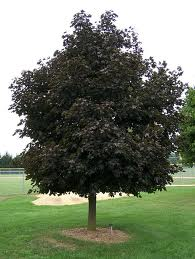 image of maple tree