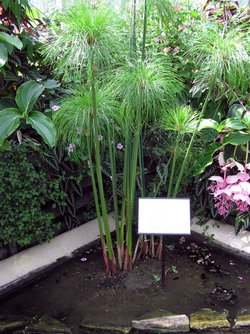 picture of papyrus plant-1