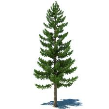 picture of evergreen or coniferous tree