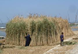 picture of reed stalk
