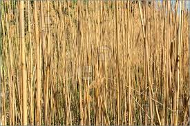 picture of reed