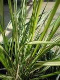 picture of reed leaf