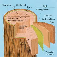 picture of sap wood
