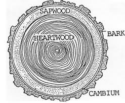 picture of sapwood
