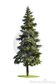picture of coniferous tree